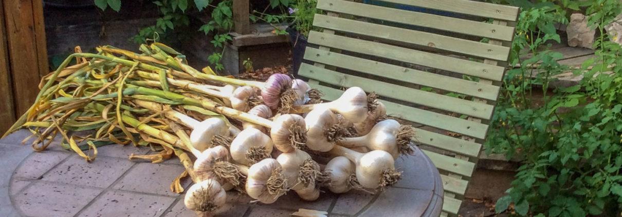 Récolte d'ail du jardin